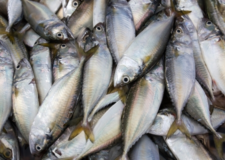 Fresh mackerel from sea in market  Thailand