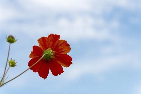 Orange Cosmos  flower family fompositae on blue sky background photo