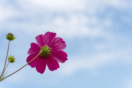 Pink Cosmos  flower family fompositae on blue sky background photo