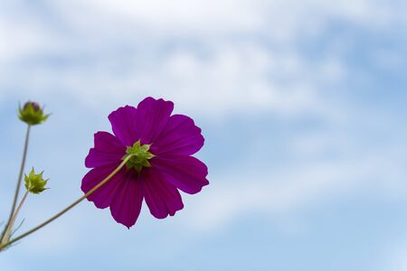 Purple Cosmos  flower family fompositae on blue sky background photo