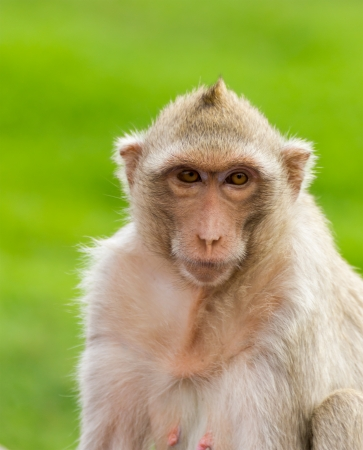Close up portrate of a monkey at Lopburi ,Thailand photo