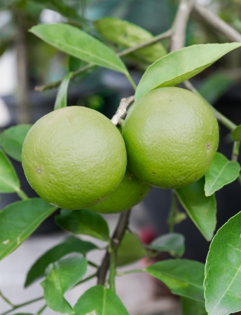 Pomelo fruit on the tree photo