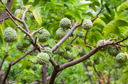 Custard apple growing on tree in nature photo