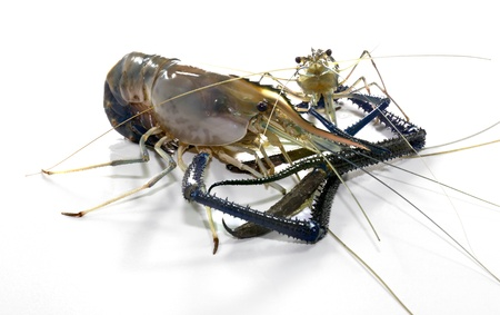 rosenbergii:  Freshwater Prawn  Macrobra chium rosenbergii de Man  on white background Stock Photo