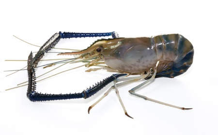 Giant Freshwater Prawn  Macrobra chium rosenbergii de Man  on white background photo