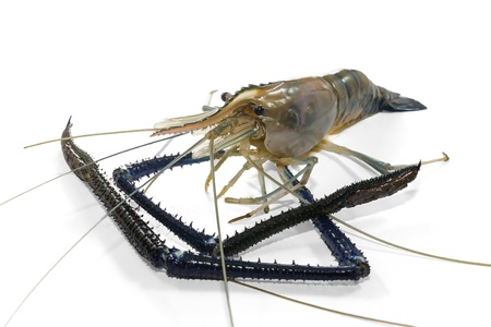rosenbergii: Giant Freshwater Prawn  Macrobra chium rosenbergii de Man  on white background