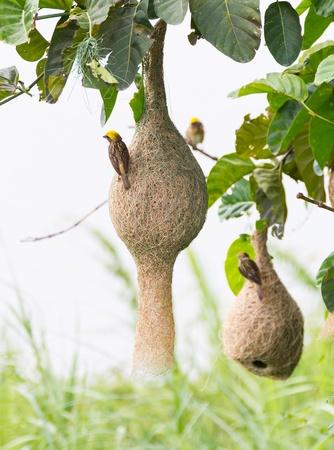 Nid d'oiseau tisserand de Baya à une branche de l'arbre