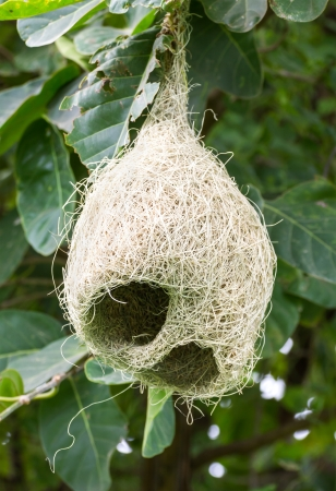Baya weaver bird nest at a branch of the tree photo