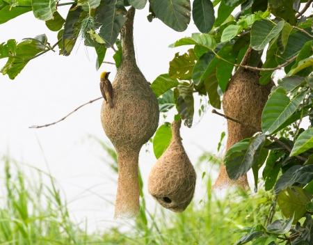 bird nest: Baya weaver bird nest at a branch of the tree Stock Photo