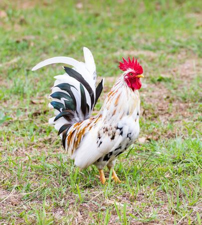 bantam hen: White Bantam  on grass in Countryside from thailand Stock Photo