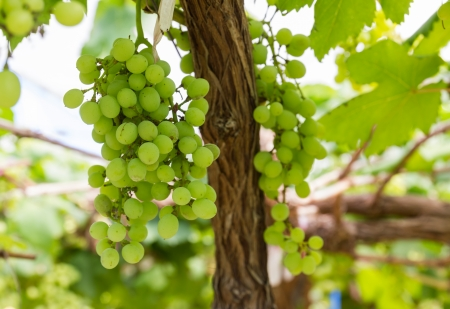 Green Grapes on the vine  in vineyard before harvest photo