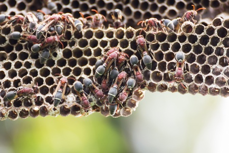 Nest of Hornet  Larvae and adults in the nest axis on tree  photo