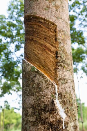 Close up of tapping latex from rubber tree in Thailand photo