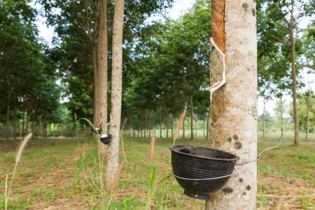 Close up of tapping latex from rubber tree in Thailand Stock Photo - 16965440