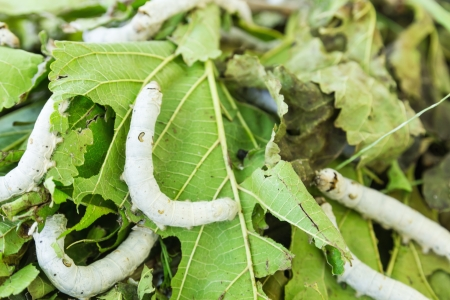 silkworm: Close up Silkworm eating mulberry green leaf