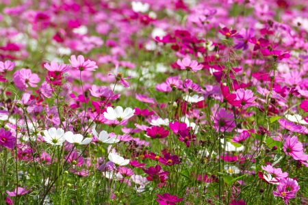Field of White and Pink cosmos flowers  in Thailand Stock Photo - 17196483