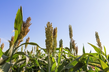 Millet or Sorghum field  with blue sky background photo