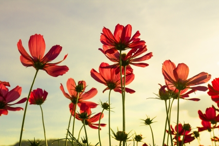 Red cosmos flowers under summer sky in Thailand photo