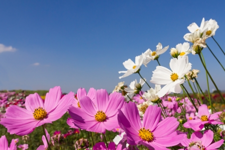Field White and pink  cosmos flowers in Thailand Stock Photo - 17682509