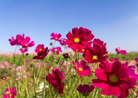 aster flowers: Field White and pink  cosmos flowers in Thailand