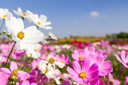 Field White and pink  cosmos flowers in Thailand photo