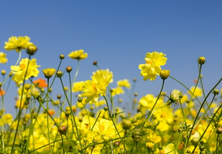 Field of Yellow cosmos flowers in Thailand photo