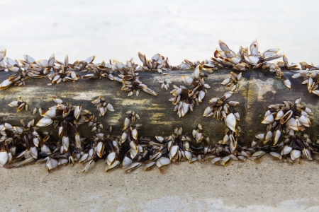 barnacles: Image of Lepadid  Gooseneck Barnacles Lepas anatifera  on lumber in Koh Samui, Thailand