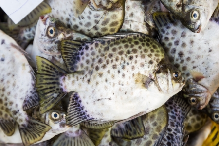 rabbitfish: Spotted scat or Green scat in  fresh market for sale