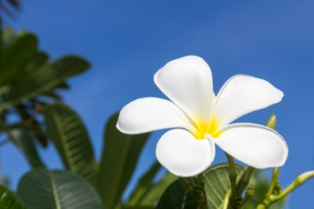 Close up of frangipani flower or Leelawadee flower photo