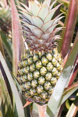 pineapple tree: ?rbol de la pi?a joven en planta de cerca