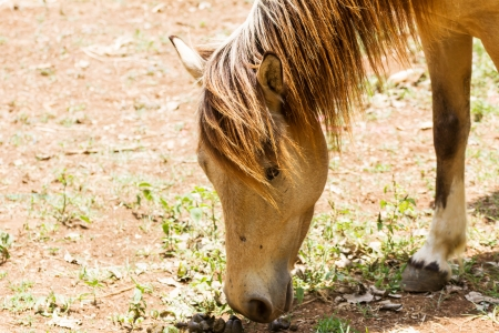 are grazed: Brown Horse feeding in a field  in the sunlight Stock Photo