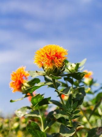 Close-up of safflower agent on blue sky background