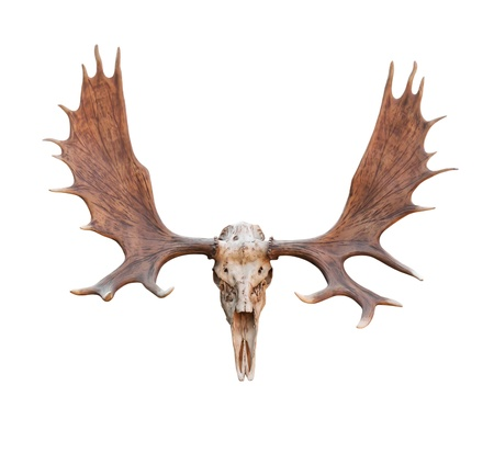 animal tongue: Skull Moose front view isolated on white  background