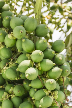Are-ca Nut Palm tropical tree with green fruits in the nature photo