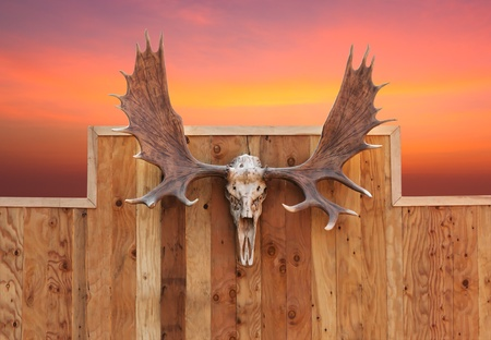 Skull Moose front view  hung on wooden wall photo