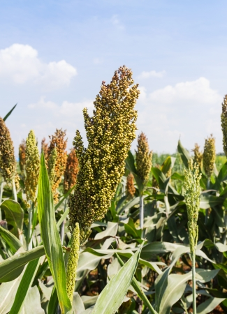 Sorghum or Millet field with blue sky background Stockfoto