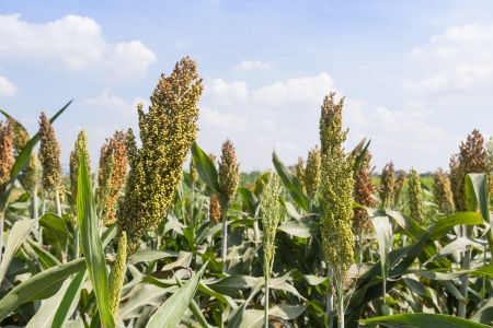 monoculture: Sorghum or Millet field with blue sky background Stock Photo