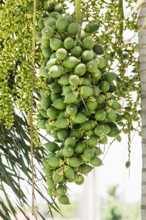 areca: Are-ca Nut Palm tropical tree with green fruits in the nature Stock Photo