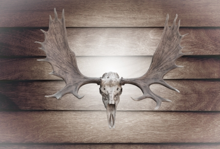 Closeup  skull moose on wooden wall texture of the seamless  wood photo