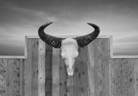 Skull cow front view  hung on wooden wall photo