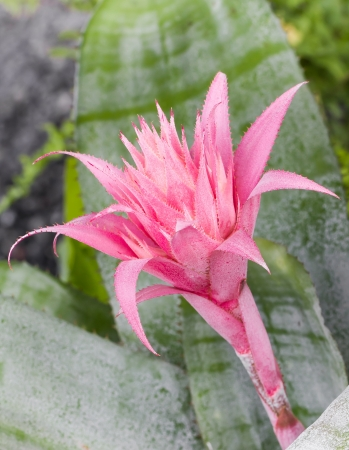 Pink Bromeliad, Aechmea Fasciata Bloom in garden photo