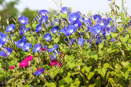 morning glory family: Morning glory or Ipomoea is flowering plants in the family Convolvulaceae.