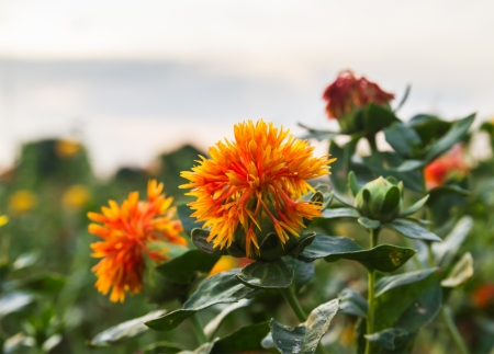 globular: Safflower is globular flower heads having yellow, orange, or red flowers, It is commercially cultivated for vegetable oil extracted from the seeds.