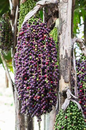 fishtail: Fishtail Palm seed or Caryota mitis lour palm  in garden Stock Photo