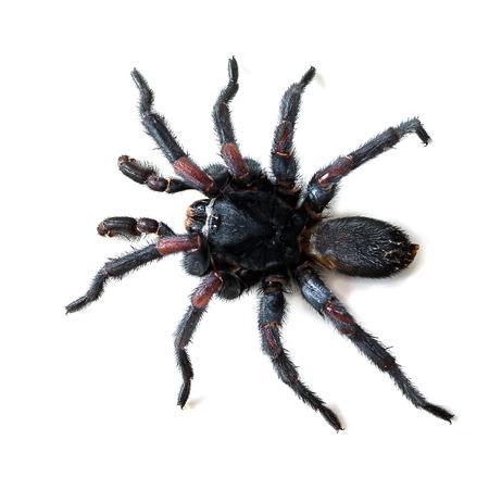 burrows: Thai Tarantula  Haplopelma albostriatum   This tarantula found throughout Thailand lives in burrows Stock Photo