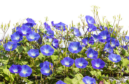 morning glory family: Morning glory or Ipomoea is flowering plants in the family Convolvulaceae