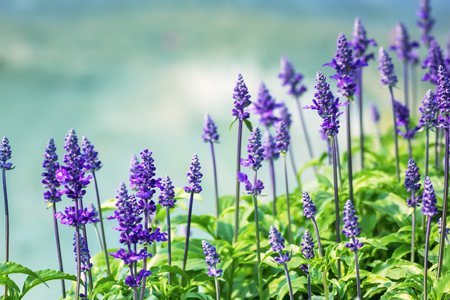 Meadow with blooming Blue Salvia herbal flowers. Blue Salvia is plant in the mint family.Vintge style photo