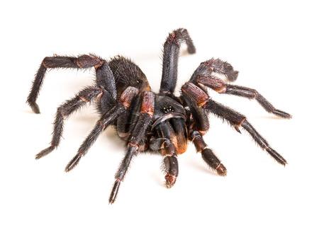 Thai Tarantula (Haplopelma albostriatum). This tarantula found throughout Thailand lives in burrows