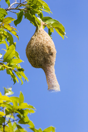 weaver bird nest: Baya weaver bird nest  branch on tree with blue sky