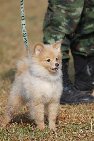 munition: THAILAND- DECEMBER 18: Training Dogs of War, Thailands Army on December 18, 2014 in Saraburi, Thailand.